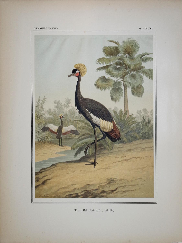 The Balearic Crane, Immature and Chick: Heinrich Leutemann and J.G. Keulemans