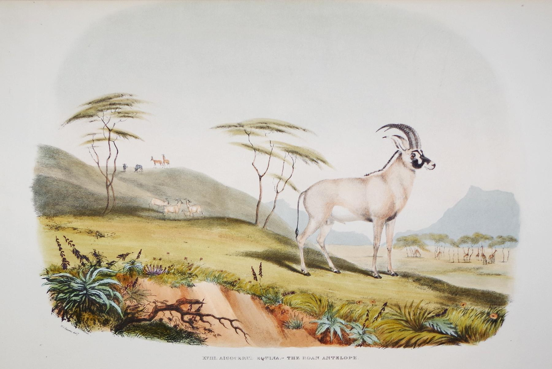 Portraits of Game and Wild Animals Of Southern Africa - The Roan Antelope: Captain W. Cornwallis ...