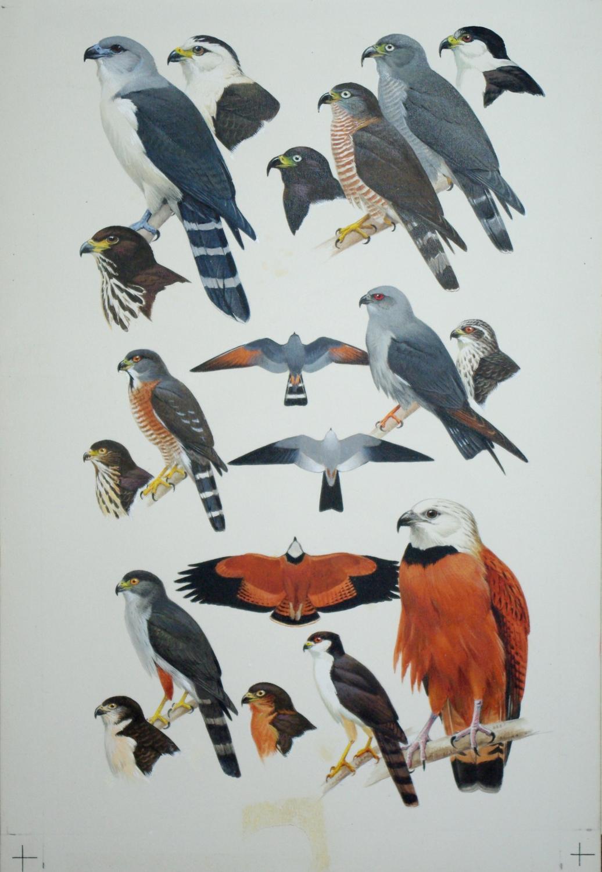 Birds of Prey, Kites: Roger Tory Peterson