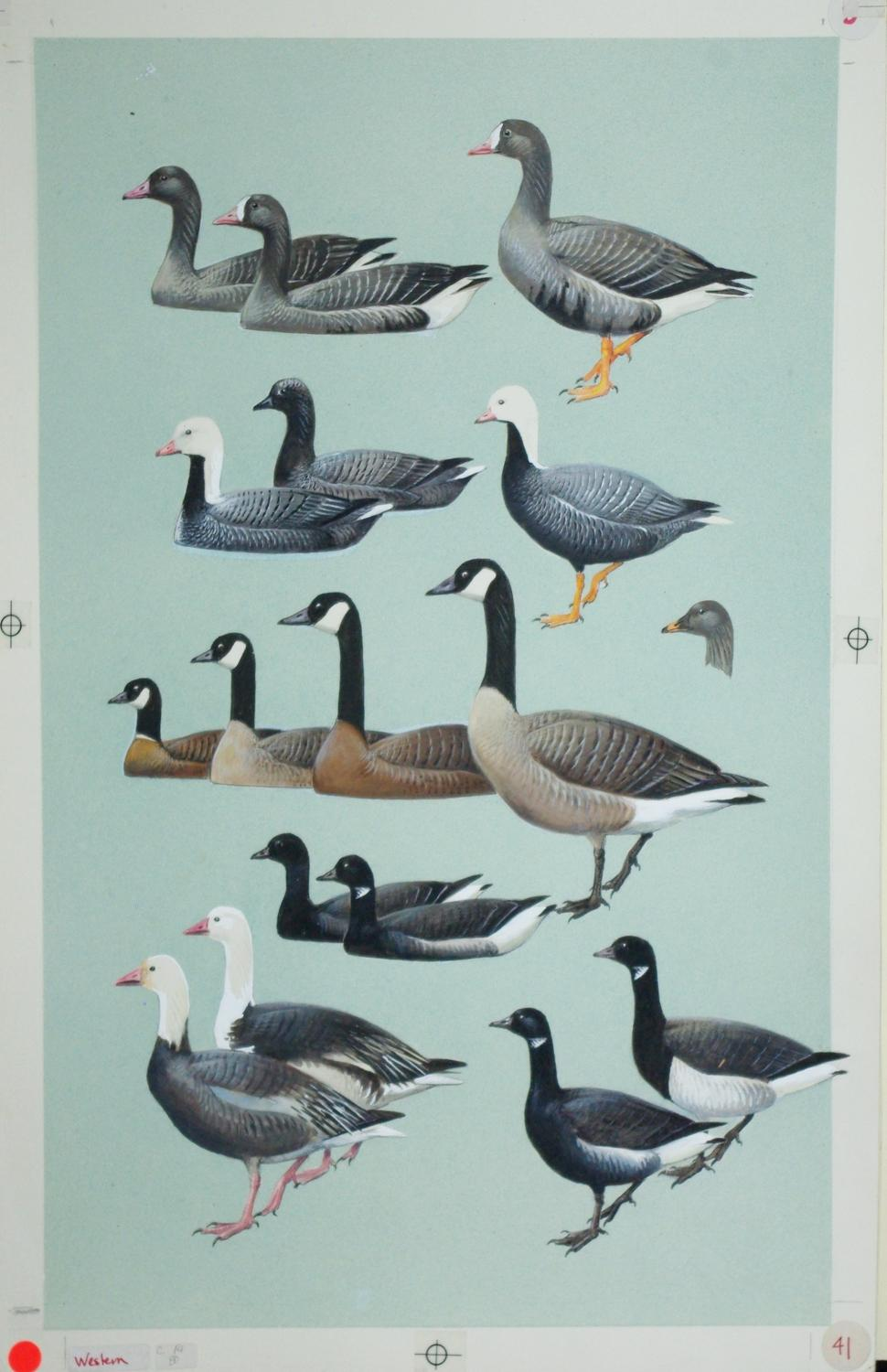 Geese, Brant: Roger Tory Peterson
