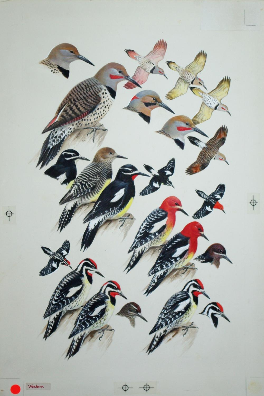Woodpeckers, Flickers, Sapsuckers: Roger Tory Peterson