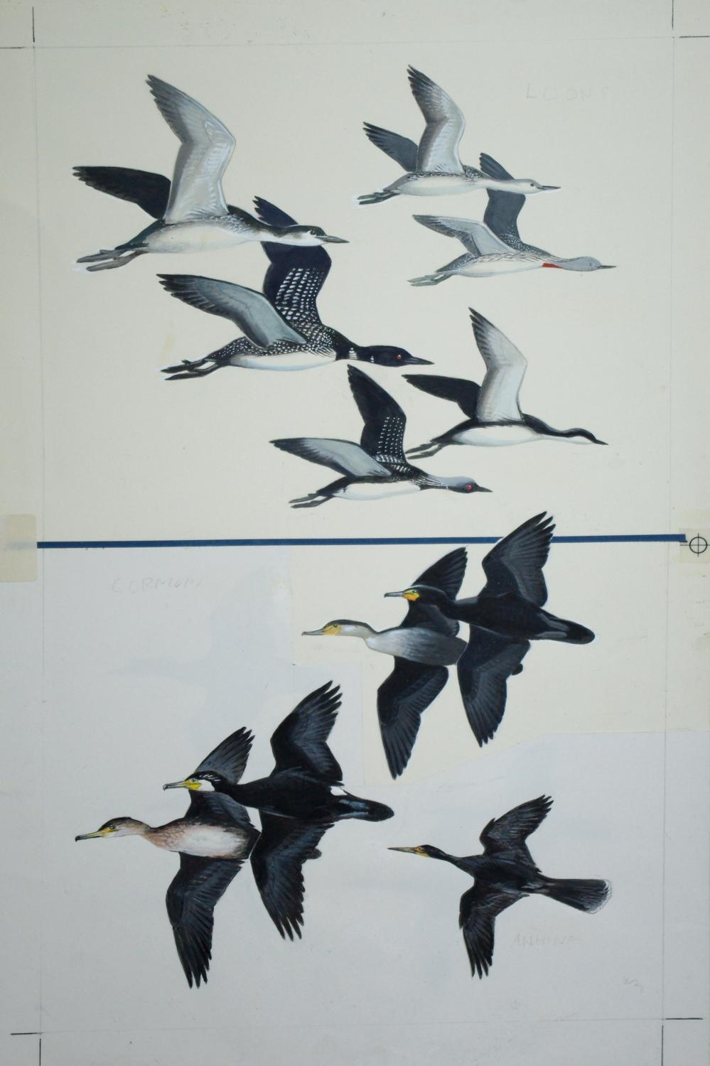Loons, Cormorants in Flight: Roger Tory Peterson