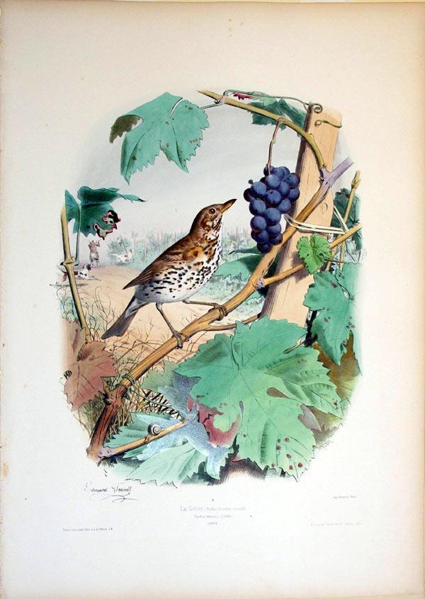 La Grive. (Buffon) Grandeur naturelle--Turdus musicus (Linne)--EUROPE: Edouard Travies