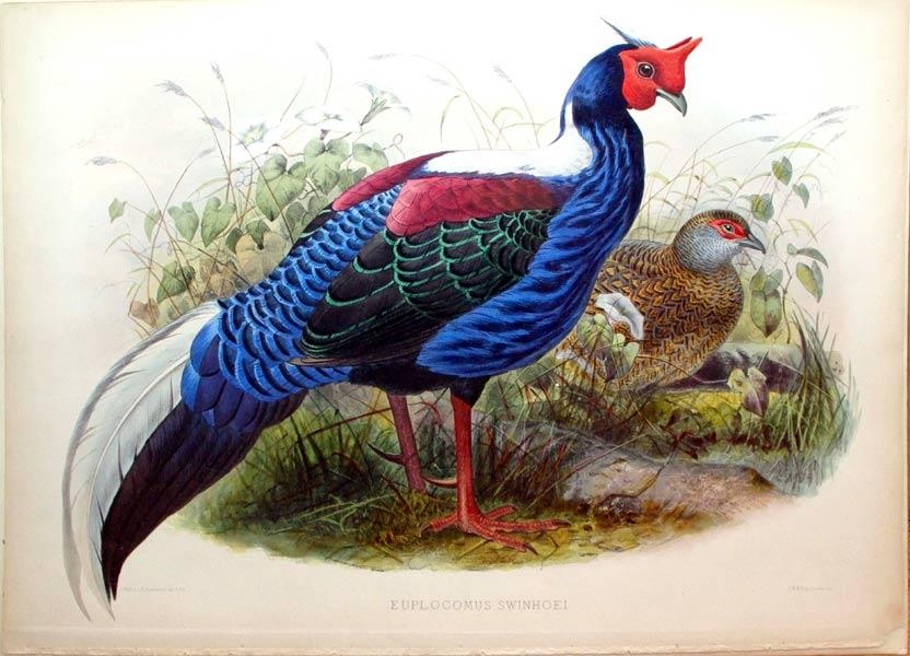 Euplocomus Swinhoei: Daniel Giraud Elliot