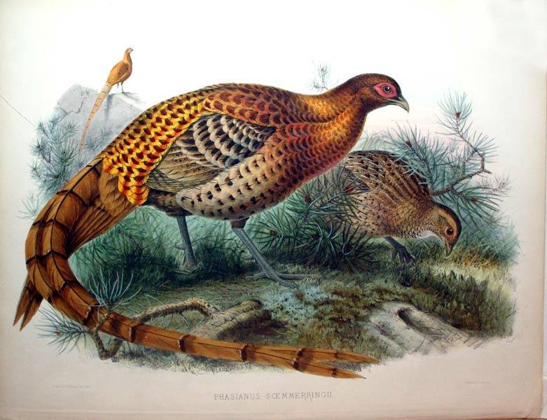 Phasianus Soemmerringii: Daniel Giraud Elliot