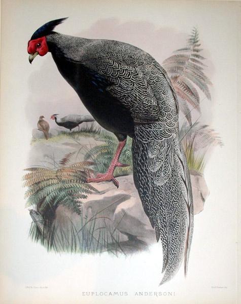 Euplocamus Andersoni: Daniel Giraud Elliot