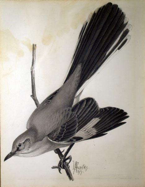 Mockingbird: Louis Agassiz Fuertes (1874-1927)