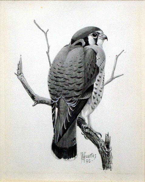 Sparrow hawk: Louis Agassiz Fuertes (1874-1927)