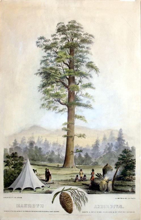 Mammoth Arbor Vitae. Standing on the Head Waters of the Stanislaus & San Antoine Rivers, in ...