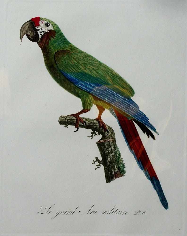 Histoire Naturelle des Perroquets - Plate 6: Barraband, Jacques