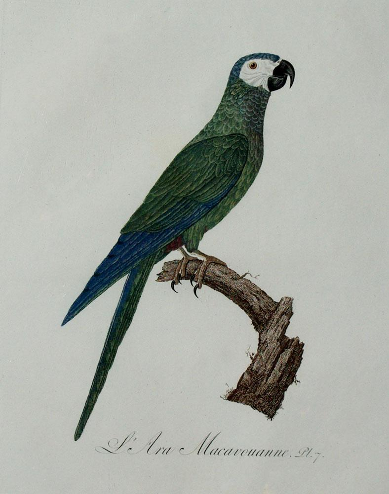 Histoire Naturelle des Perroquets - Plate 7: Barraband, Jacques