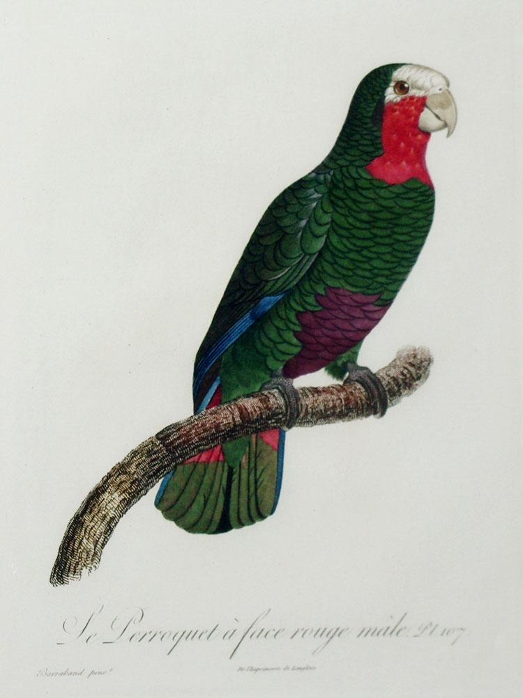 Histoire Naturelle des Perroquets - Plate 107: Barraband, Jacques