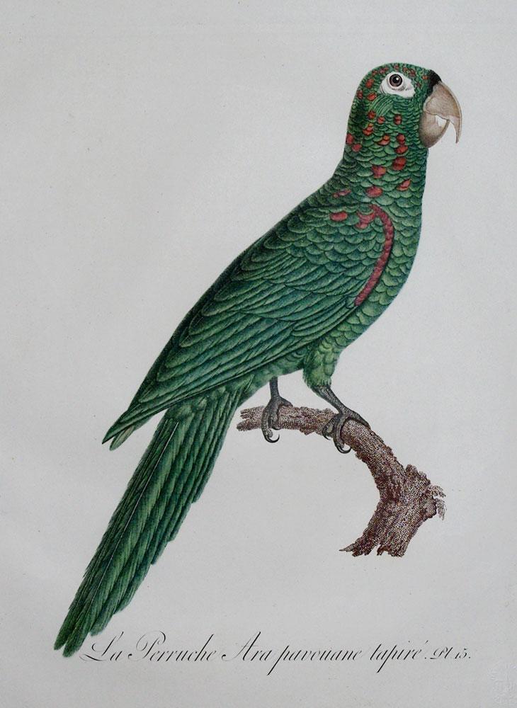 Histoire Naturelle des Perroquets - Plate 15: Barraband, Jacques