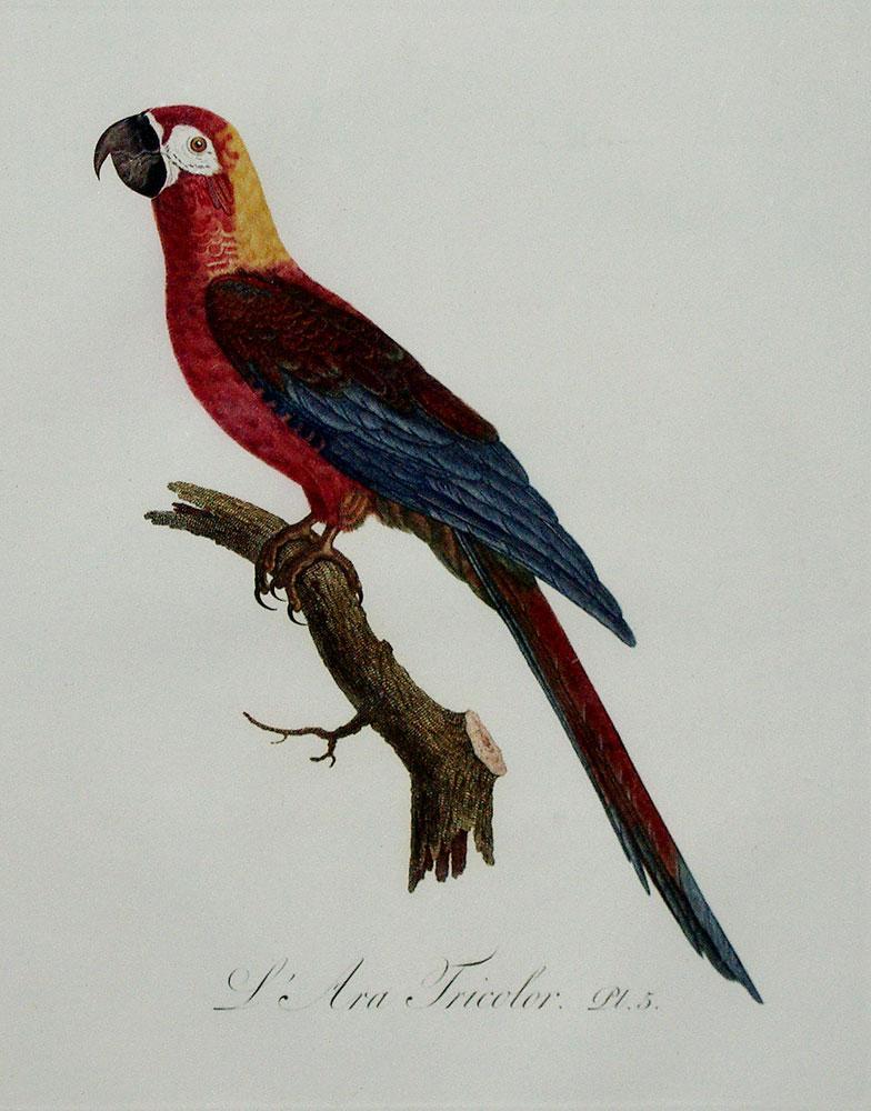 Histoire Naturelle des Perroquets - Plate 5: Barraband, Jacques