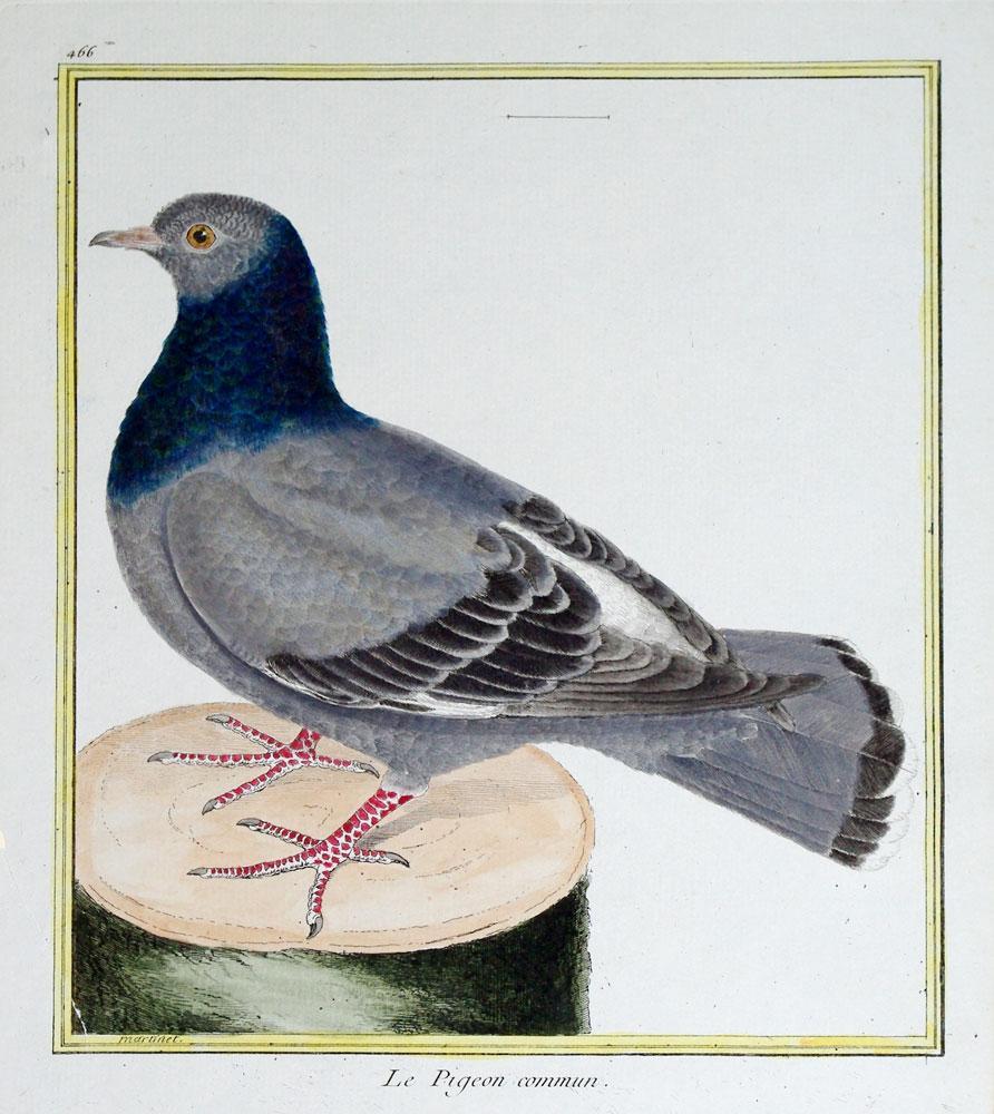 Histoire Naturelle des Oiseaux - Plate 466: Francois Nicolas Martinet