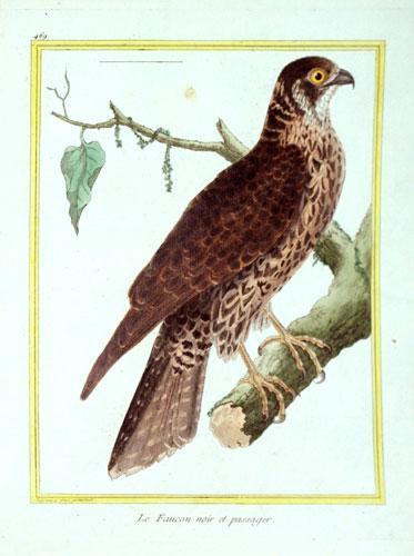 Histoire Naturelle des Oiseaux - Plate 469: Francois Nicolas Martinet