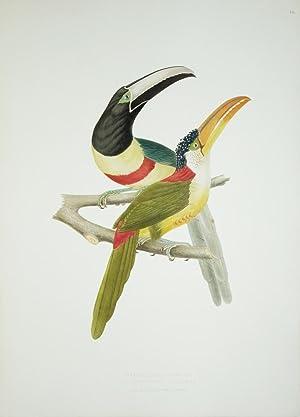 Tab. 14 Ptereglossus Aracari.: Jean Theodore Descourtilz