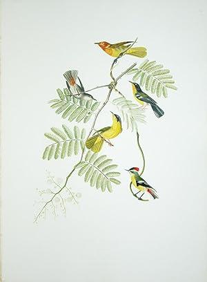 Tab. 42 Nemosia Ruficollis.: Jean Theodore Descourtilz