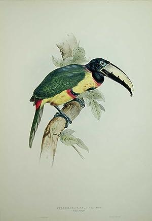 Pteroglossus Regalis. Royal Aracari.: John Gould