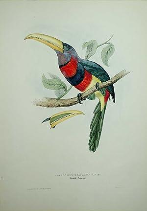 Pteroglossus Azara. Banded Aracari.: John Gould