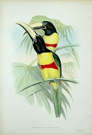 Pteroglossus Wiedi. Prince Maximilian's Aracari.: John Gould