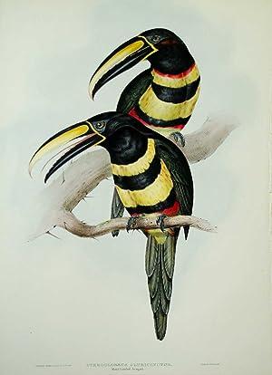 Pteroglossus Pluricinctus. Many-banded Aracari: John Gould