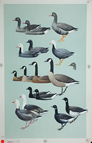 Geese, Brant