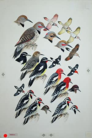 Woodpeckers, Flickers, Sapsuckers