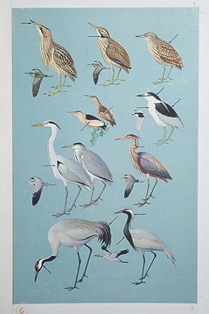 Bitterns, Herons, Cranes: Roger Tory Peterson