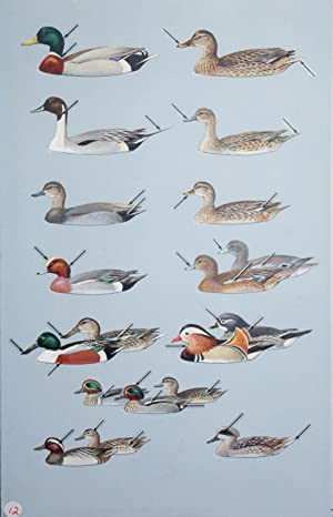 Marsh Ducks: Roger Tory Peterson