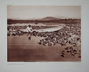 Gathering Wokas - Klamath, Plate 460 from The North American Indian. Portfolio XIII: Edward S. ...