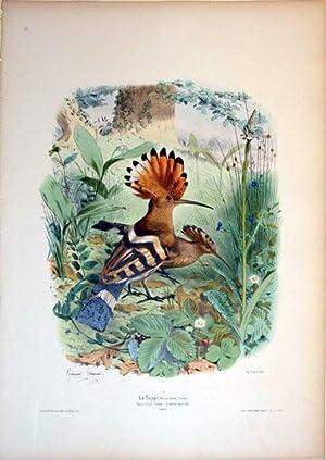 La Huppe. Male et femelle (Buffon)--Upupa Epops (Linnee.) grandeur naturelle--EUROPE: Edouard ...