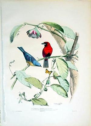 Le Tangara a bandeau, Tanagra vittata (Temmink)--Le Ramphocele flamboyant, Ramphocelus ignescens (...