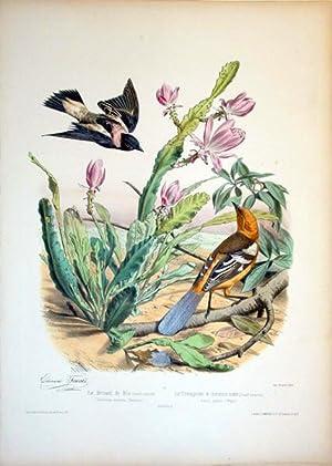 Le Bruant de Riz (Grandr.naturelle)-- Le Troupiale a menton noir, (Grandr.naturelle): Edouard ...