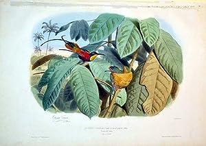 Le Colibri-topaze male et femelle aver leur nid.grand.nat (Buffon)-- Trochilus pella.(Linnee)-- DE ...