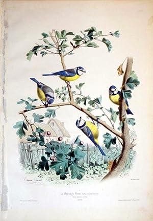La Mesange bleue. (Buffon) Grandeur naturelle--Parus Coeruleus, (Linne)--EUROPE: Edouard Travies