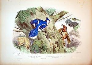 Le Geai bleu (Male) 5/8 nature--Le Pie a baguettes dorees (Femelle) 5/8 nature--AMERIQUE ...
