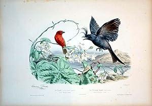 Le Foudi (Buffon) Grandr. naturelle--Loxia Madagascariensis.--Le Dongo huppe Grand naturelles--...