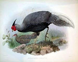 Euplocamus Lineatus: Daniel Giraud Elliot