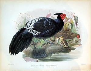 Euplocamus Horsfieldii: Daniel Giraud Elliot