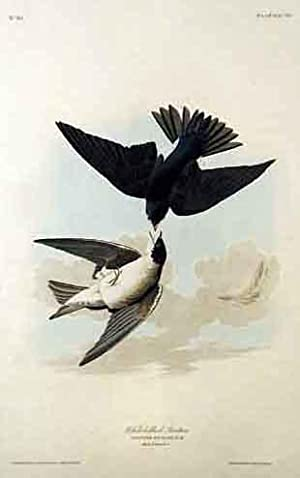 Plate 98 (XCVIII) - White-Bellied Swallow