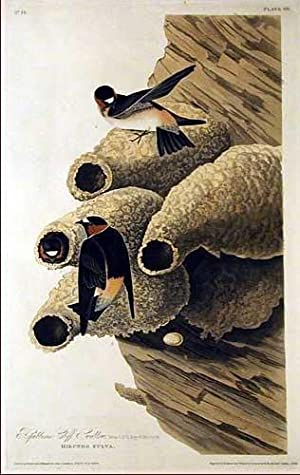 Plate 68 - Republican Cliff Swallow