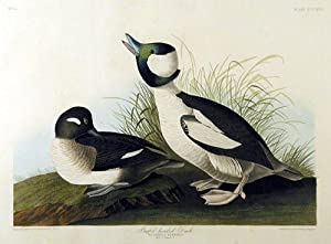 Plate 325 (CCCXXV) - Buffel-Headed Duck