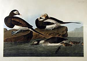 Plate 312 (CCCXII) - Long-Tailed Duck