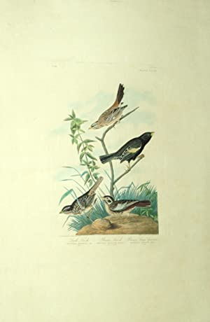 Plate 390 (CCCXC) - Lark Finch/Prairie Finch/Brown Long Sparrow