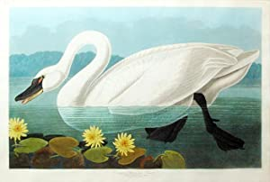 Plate 411 (CCCCXI) - Common American Swan