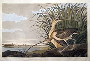 Plate 231 (CCXXXI) - Long-Billed Curlew