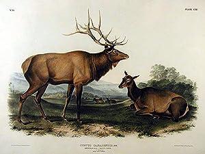 Plate 62 (LXII) - Cervus Canadensis, Ray./American Elk-Wapiti Deer: John James Audubon