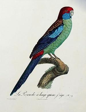 Histoire Naturelle des Perroquets - Plate 79: Barraband, Jacques