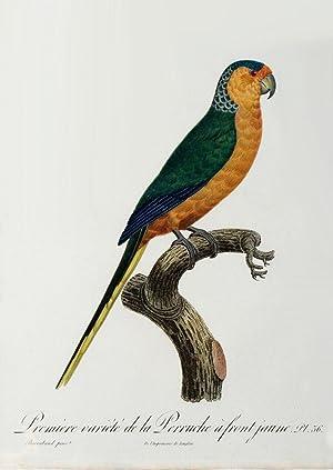 Histoire Naturelle des Perroquets - Plate 36: Barraband, Jacques